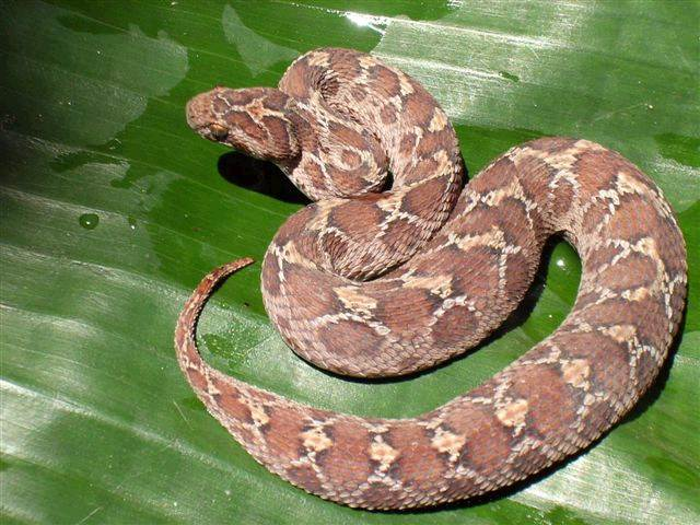 Viper Snake Strike Images & Pictures - Becuo